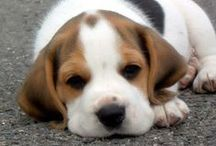 Dogs, because I love them / I own a beagle. If i could, I would buy at least 10 dogs :)) Unfortunately, I don`t have space to keep them. So, I have to be satisfied with one little cute beagle <3