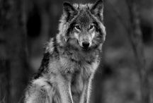 I am WOLF / I resonate deeply with the wolf, feel myself often as she is.  I see thru her eyes & know her instincts in my heart.  This board for my 4 legged brothers & sisters.  Do you know your totem? It is a mystical magical journey: I highly recommend it. Feel the wolf in you as I suspect most women do? The book Women who run with the Wolves- Clarissa P Estes- will speak 2 ur soul