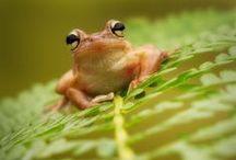 żabki i kameleoniki / gatunki żab i kameleonów