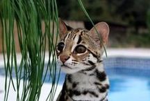 kotowate / dzikie koty i kocury