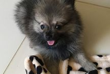 Pomeranian - O Mikroulis