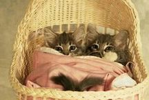 I Love Cats / Also see my boards: Cute Overload, Quotes, Art/Photography, and Humor. Videos here are also on my Videos board. GIFS here are also on my GIFs board.  / by Nina L. Diamond