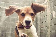 // DOG.Beagle