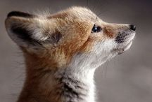 foxy. / nocturnal. clever. spirit animal.