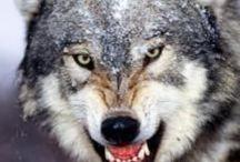 Wolves are eeeeppppiiiicccc!!!!!!!!!!!!