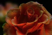 Petals & blosom