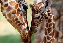 Kocham żyrafy :)