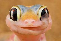 I want a Lizard