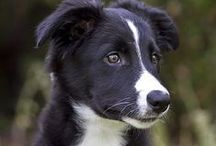 DOGS: Border Collies