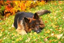 I Heart German Shepherds / Best breed of canines ever!