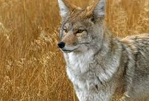 Coyotes / Sly and cunning, just like a fox.