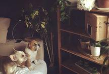The alien family (Angel,Ginger,Mocha,Bourbon) french & english bulldog , golden retriever , chinchilla cat / Hudoca' family