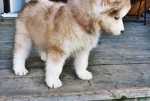 pomskies / fluffy little dogs i want!