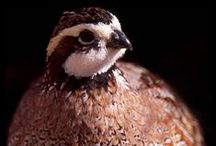 Raising Quail / A friend of Hubbie gave us 2 Common Quails - a male and a female - to keep as pets. We have no idea what to do with quail, but really like them and want to raise them well! :)