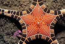 The Sea-Star Board. / Explore the fascinating, five cornered creatures. In the depths of the deep ocean or upon the sandy shores- discover these amazing, bloodless, star shaped creatures.