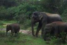 Pinnawela, Sri Lanka. / Sri Lanka's world famous Elephant orphanage. Elephant used to go for bath here. They are so attractive and tourist like to mingle with them