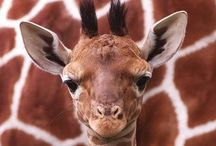 Giraffe / by Linda Bailey