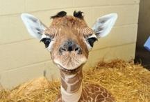 Animals - Giraffes / by Danielle Edwards