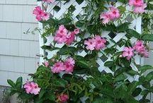 Květiny-Mandevillea