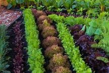 Vegetable Gardens  / Ideas for the home garden. / by DripKing.com