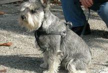 Luna my schnauzer / il mio cane