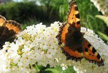 Vlinders/ Butterflys / vlinders