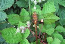 Libellen/ Juffers / Diverse soorten libellen en juffers