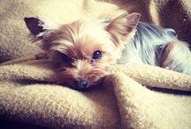 • yorkshire terrier ❤️ •