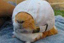 Silly Guinea Pig / Guinea Pig apparel & gadgets