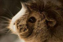guinea pigs love