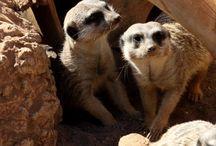Meerkats <3 / I looove these little creatures <3