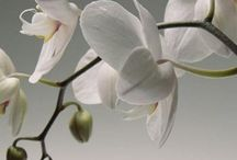 ***Orchids*** / All kinds of beautiful orchids - please feel free to share yours.