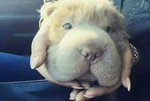 Bear coat Shar Pei
