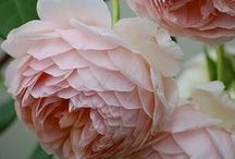 Flowers / Over 250 stunning images of flowers and all things floral. Peony heavy!