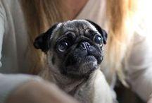 Pugs - Carlin :)