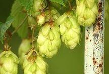 Brewing beer / Brewing beer