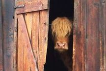 Cows / My obsession with cows - especially Highland Cows continues...