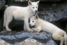 Loups Blancs / Superbes loups blancs