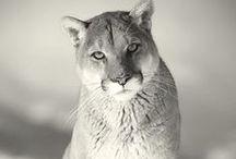 Puma, Jaguar and Panther