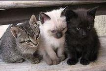 Les races de chats /     Le chat domestiques ( Catus domesticus),     Le chat d'Angora ( Catus Angorensis),     Le chat d'Espagne (Catus hispanicus),     Le chat des chartreux (Catus Coeruleus). Et aussi aujourd'hui environ 150 variétés !