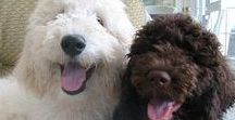 """Oodles of Doodles & Poodle Mixes / Goldendoodles, labradoodles, aussiedoodles, and all """"oodle"""" dogs."""