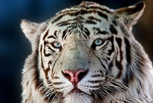 TIGER / by Roberto Grubhofer