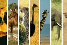 African Animals / The African continent is home to a diverse group of animals. Famed for large predators, like lions and cheetahs, its savannahs are also home to a wide variety of grazing animals, as well as elephants, hippos and gorillas. Africa is not just grasslands, however -- there are deserts, snow-capped mountains, forests and jungles, all of which host animals native to those habitats. The colder regions are even home to animals you wouldn't expect to find in Africa, like wolves and penguins.