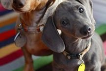 Dachshunds...Too Cute / Dachshunds - All kinds