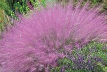 Ornamental Grasses / Using ornamental grasses in your garden. Choosing the best varieties and how to care for.