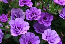 Annuals / Great garden annuals for beautiful colour. Annuals in containers, hanging baskets. How to grow and care for annual plants.
