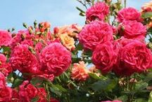 Extremely Fragrant Roses / These are some of the roses you should definitely stop to smell! For gardening tips, tricks, and ideas, check out our other boards!