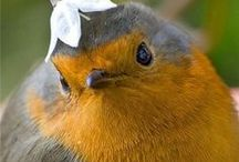 BIRDS - UCCELLI - OISEAUX - Vögel  / Pettirossi Passerotti Rondini Colombe Gabbiani...