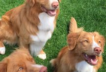 Nova Scotia Duck Tolling Retriever Obsession