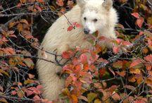 Kermode Bear / Spirit Bear